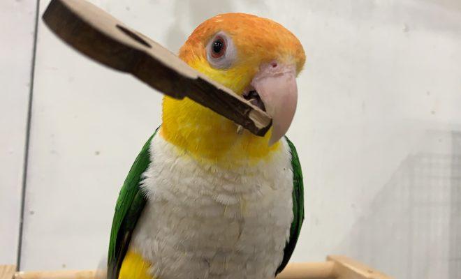 鳥カフェバードプラスのハラインコ